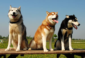 Gang of three Huskies sitting on picnic table